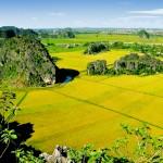 Rice Fields in Hoa Lu, Ninh Binh